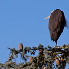 Great Blue Heron 2 by JWallace