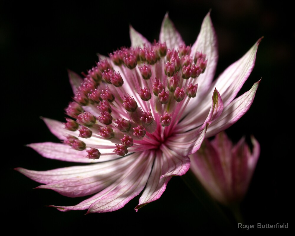 Astrantia by Roger Butterfield