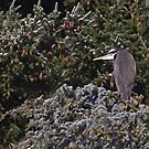 Great Blue Heron by JWallace