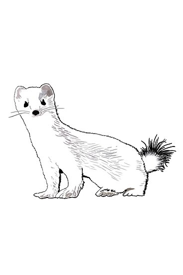 Ermine The Weasel In Winter Posters By Qwertyvsdvorak