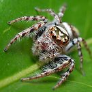 Garden Jumping Spider by Andrew Trevor-Jones