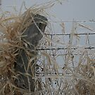 Icy fence & weeds by Tina Billhymer