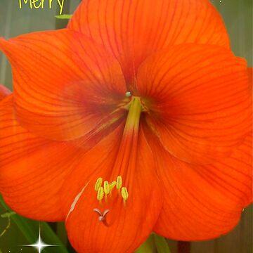 Merry Christmas Hipiastrums from my Garden by MardiGCalero