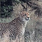 Portrait of a Cheetah by Betty Smith_Voce