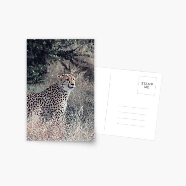 Portrait of a Cheetah Postcard