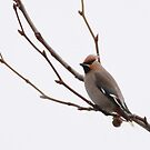 Waxwing posing by miradorpictures