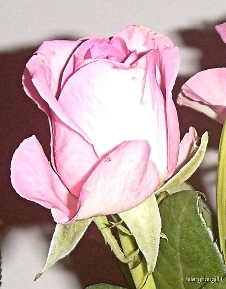 Rosebud taken today by hilarydougill