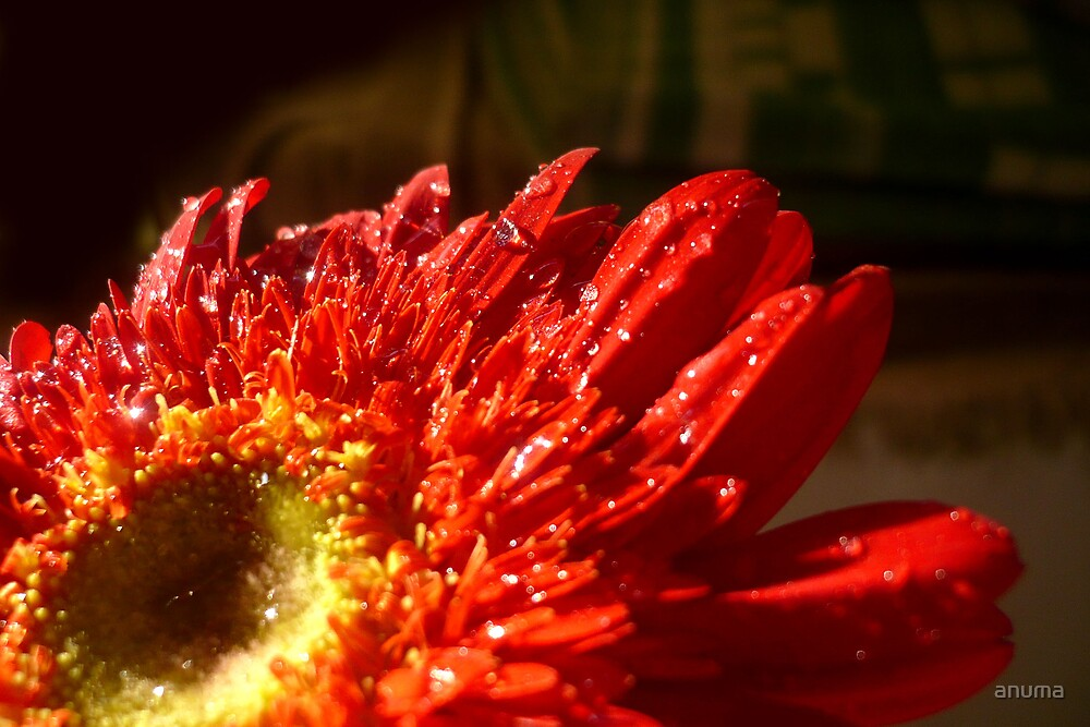 Red Gerbera by anuma