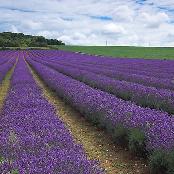 Walking in Fields of Lavender by NaturalBritain