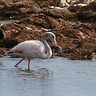 Flamingo in the wild by miradorpictures