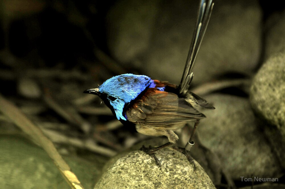 Variegated Fairy Wren I by Tom Newman