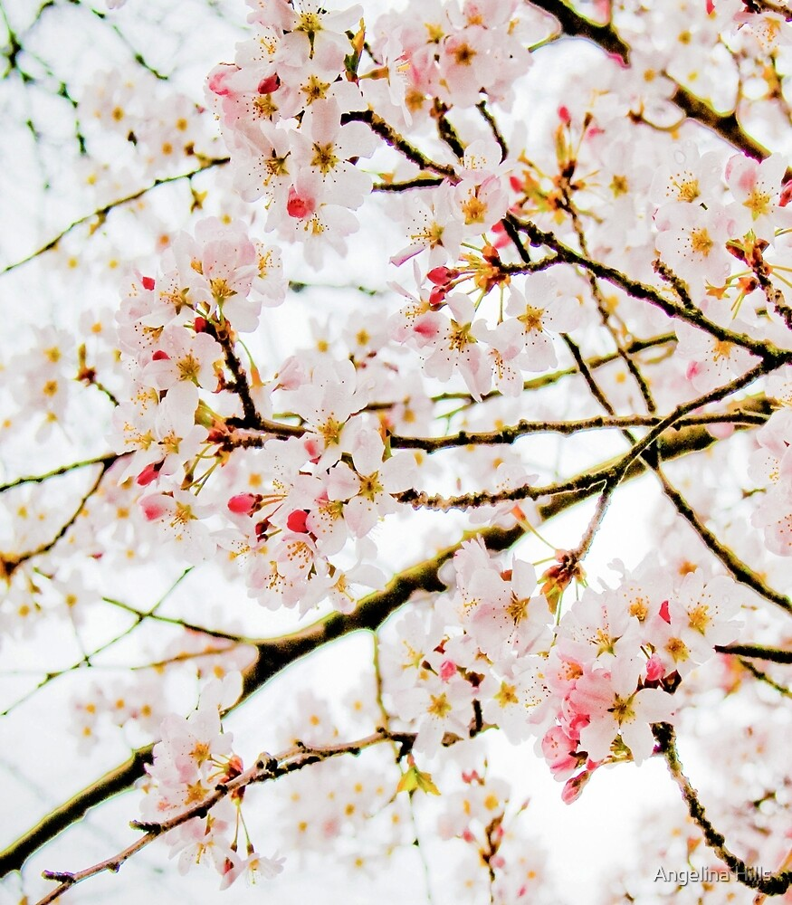 Cherry Blossom  by Angelina Hills