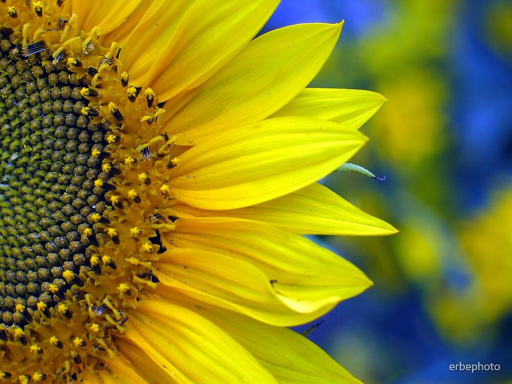 Sunflower by erbephoto