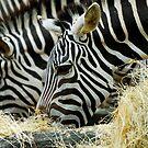 Zebras by Aneurysm
