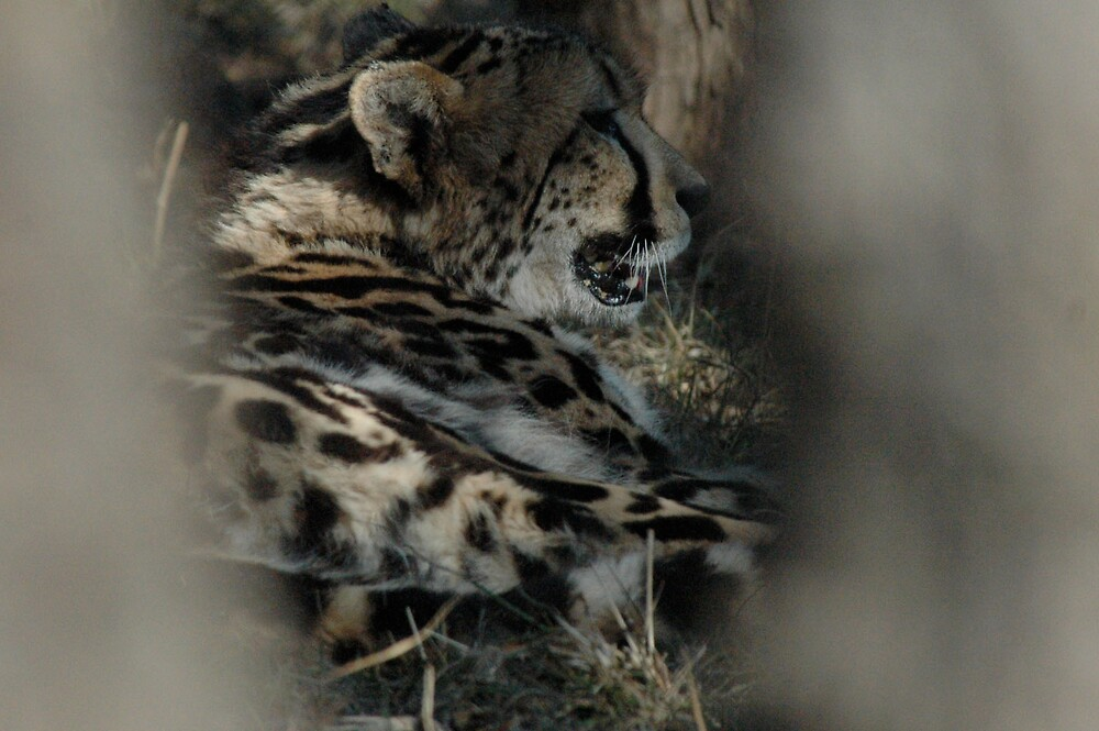 king cheetah by Willie Baronet