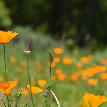 California Poppy Fields by LyndaAnneArt