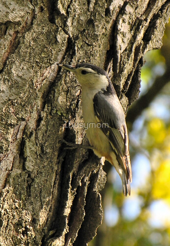 nuthatch on a tree by 1busymom