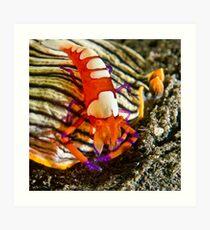 Emperor Shrimp on Nudibranch Art Print