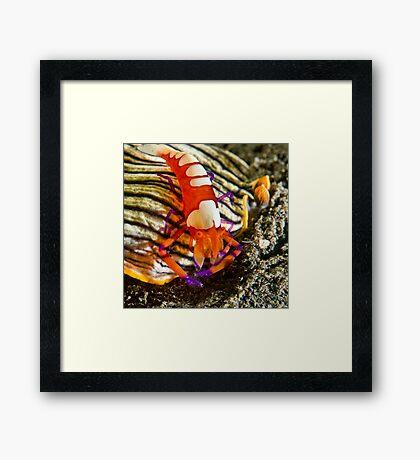 Emperor Shrimp on Nudibranch Framed Print