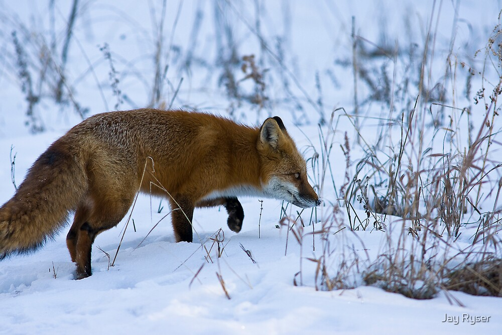 Stalking on a Cold Morning by Jay Ryser