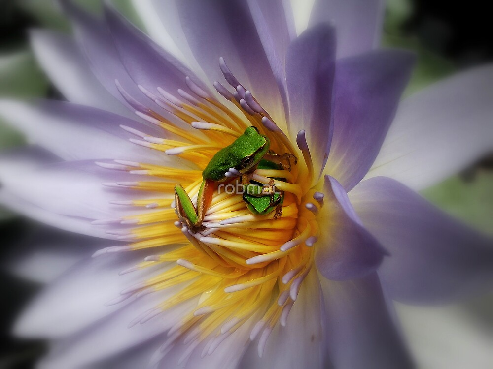 frogs in the lily pond by robmac