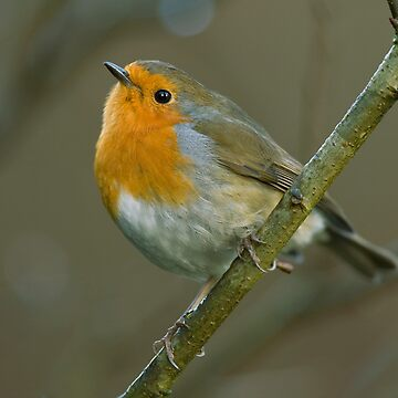 Robin by JamieP