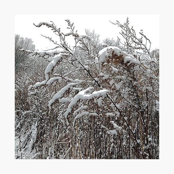 High herbaceous plants covered with first snow Photographic Print
