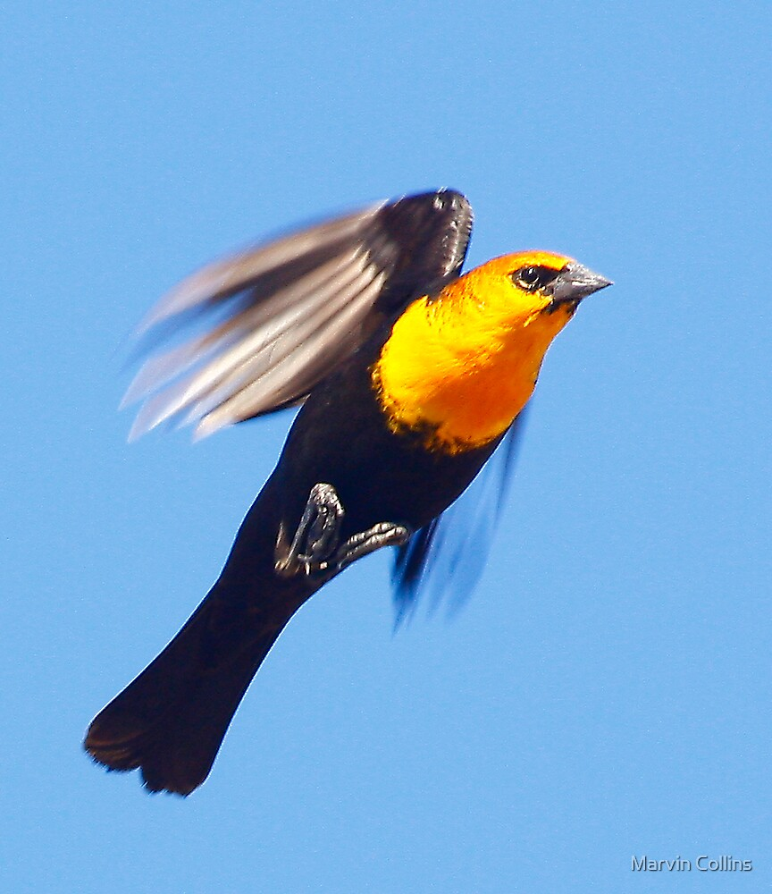 Yellow Headed Blackbird in Flight by Marvin Collins
