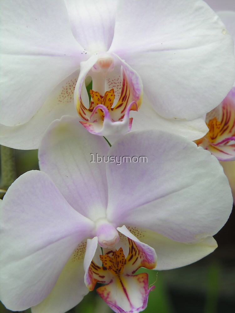 orchid twins by 1busymom