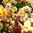 gorgeous pansies by boondockMabel