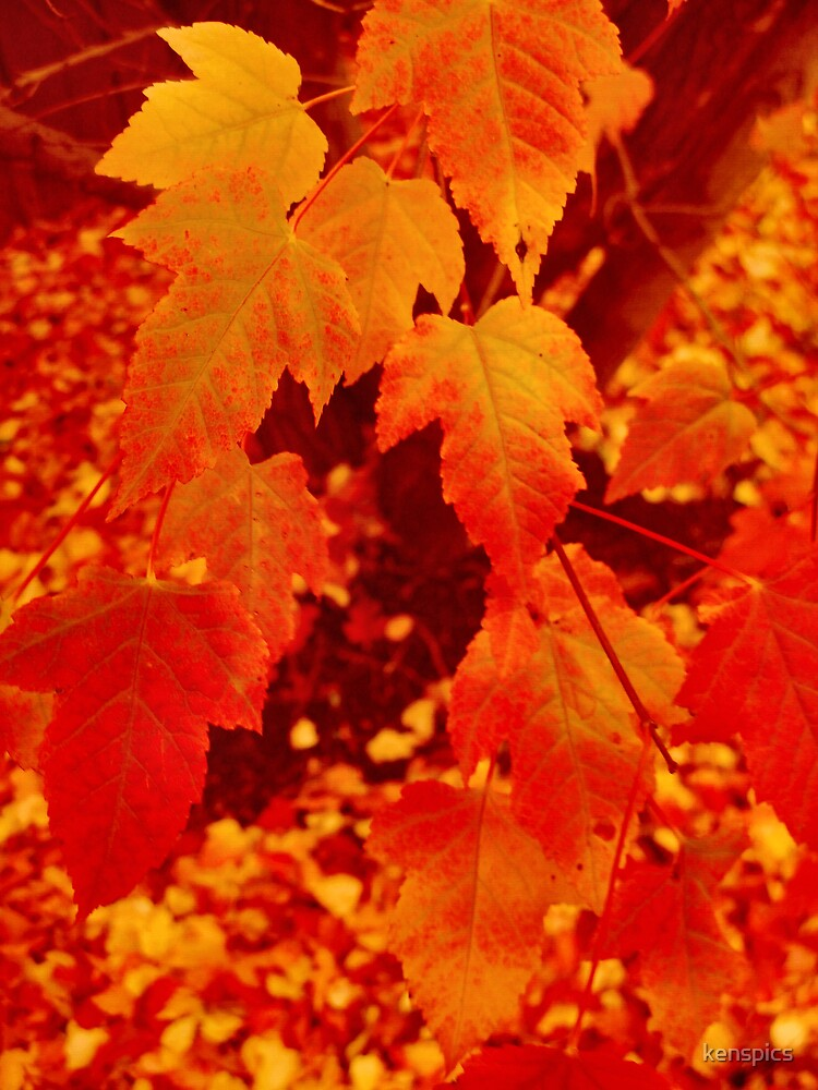 Autumn Leaves Aglow by kenspics