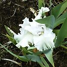 gorgeous white iris by boondockMabel