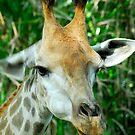 Giraffes by Aneurysm