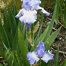 pale blue iris by boondockMabel