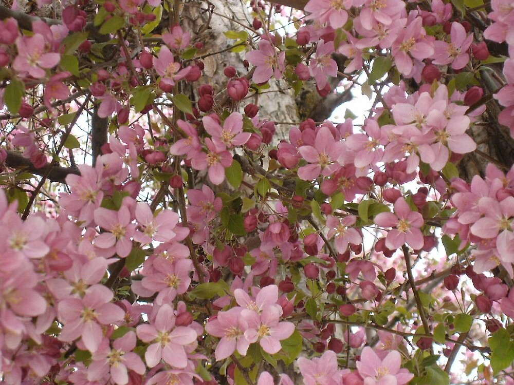 pink happy flowering tree :} by boondockMabel