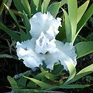 beautiful white light iris by boondockMabel