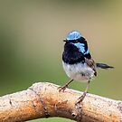 Blue Wren Male by Kym Bradley