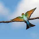 Rainbow Bee Eater by Kym Bradley