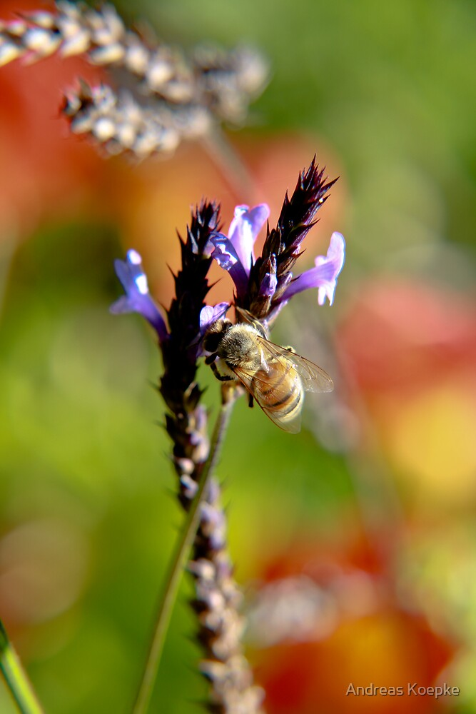 Bee on Lavender by Andreas Koepke