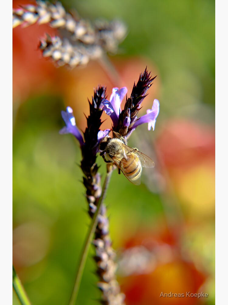 Bee on Lavender by mistered