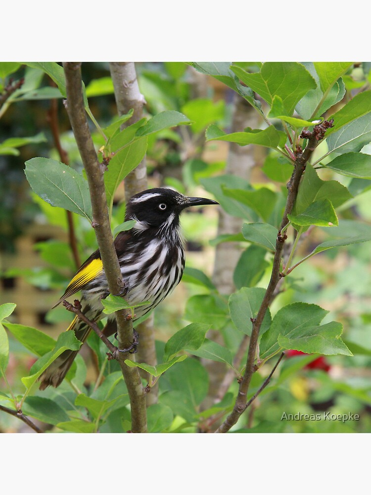 New Holland Honeyeater by mistered