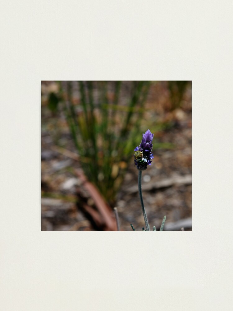Alternate view of Blue banded bee Photographic Print