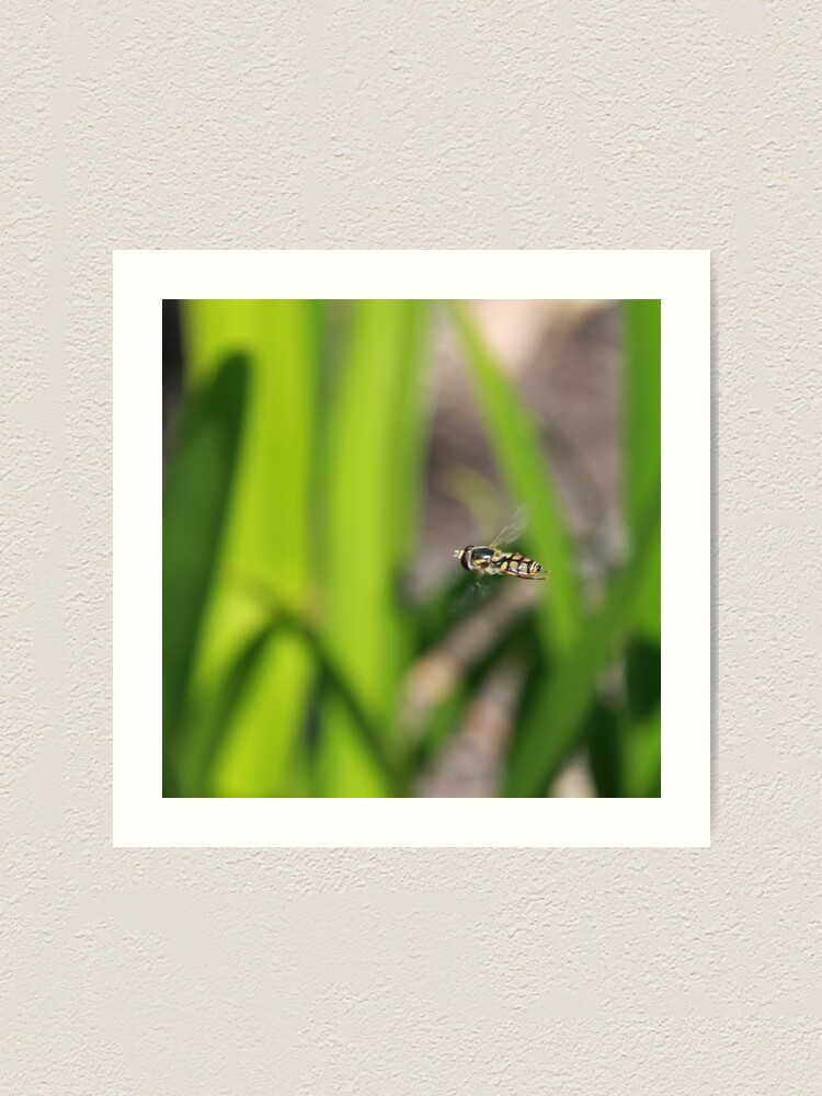 Alternate view of Hoverfly in flight Art Print
