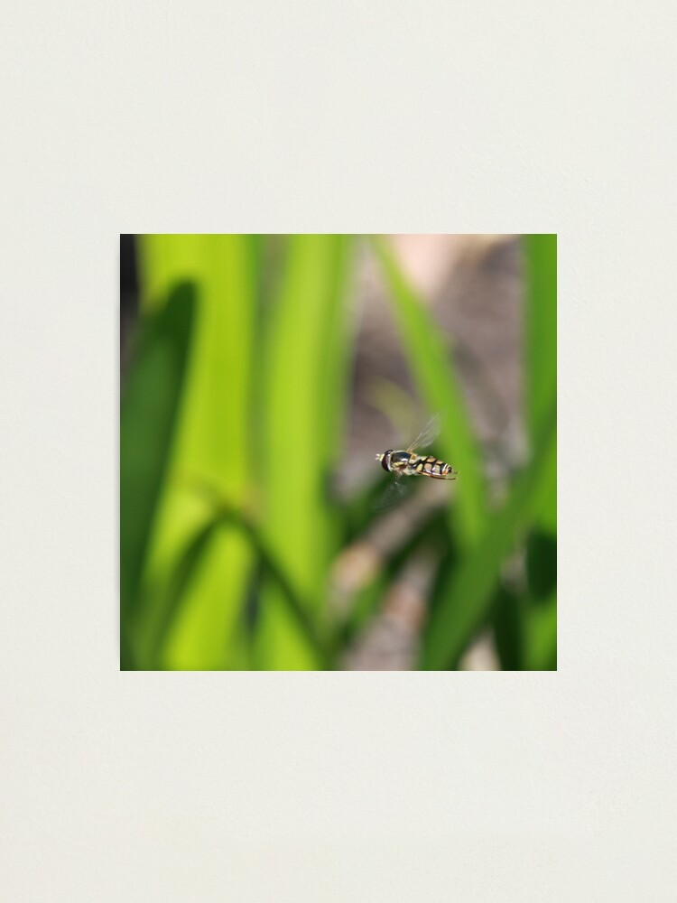 Alternate view of Hoverfly in flight Photographic Print