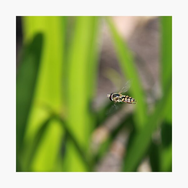 Hoverfly in flight Photographic Print