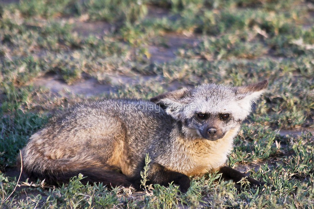 Bat-eared Fox by Nickolay Stanev