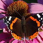 Red Admiral on Ecinachea Purpurea by Barrie Woodward