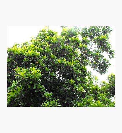 Sapodilla Tree Top Photographic Print