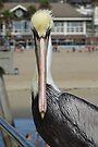 Pelican Eye to Eye by Barrie Woodward