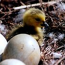 Baby swan in the nest.....I wish I could fly by jammingene